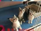 喵咪萌宠名猫屋自家繁殖美短虎斑猫天天有特价