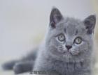 猫舍出售纯种散养 家养 蓝猫蓝白幼猫可上门多只待售