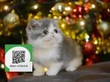深圳哪里开猫舍卖加菲猫 去哪里可以买得到纯种加菲猫