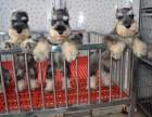 犬舍繁殖雪纳瑞 包纯种健康养活 可送货上门