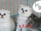 苏格兰折耳猫 英国短毛猫 蓝猫 美短起司猫