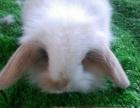 泸州市实体店 长期出售长毛垂耳兔,猫猫兔