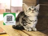 柳州哪里开猫舍卖美短 去哪里可以买得到纯种美短