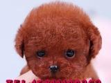 泰迪熊犬出售,品相一流 纯种茶杯犬 健康可爱 泰迪犬 无杂毛