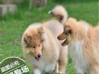 华昇cku认证犬舍 诚信经营 赛级品质 一宠一证 可上门挑选