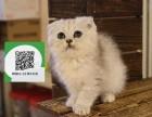 天津哪里卖折耳猫 天津哪里有宠物店 天津哪里卖宠物猫便宜
