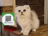 南通哪里卖折耳猫 南通哪里有宠物店 南通哪里卖宠物猫便宜