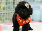 純種泰迪犬,優選培育強健幼犬,確保健康