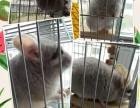 六个月的米色龙猫DD急出售600元