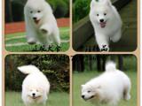 微信天使纯种奥版萨摩耶 萨摩狗狗纯种健康保障