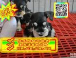 正规狗场 专业繁殖 实物拍摄 可见狗父母 雪纳瑞犬