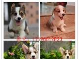临夏 柯基。犬舍直销、让顾客买的优惠、放心和纯种
