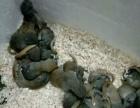 出售各种松鼠