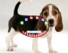 比格犬的吠声比其他猎犬高亢,故有 森林之铃 之称