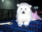 薩摩耶幼犬寵物狗出售 上海薩摩耶犬幼犬純種薩摩犬