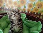 宠物猫CFA美短虎斑 加白起司猫找新家