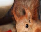 迷你刺猬,雪地松鼠,非迷刺猬,蜜袋鼯,飞鼠