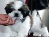 韓國引進種犬,賽級西施犬,三個月免費退換,三年