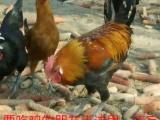 土鸡,草鸡,珍珠鸡火鸡