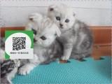 深圳哪里开猫舍卖折耳猫 去哪里可以买得到纯种折耳猫