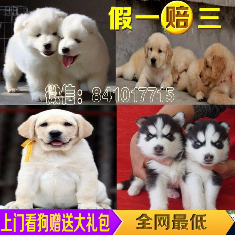 重庆宠物狗狗 800一只打折促销 泰迪犬 博美犬比熊 巴哥犬