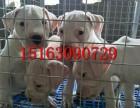 杜高犬幼犬哪里出售,双血统杜高犬价格多少,怎么训练杜高幼犬