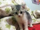 美短标斑 起司猫 美短加白 美国短毛猫 宠物猫