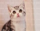 美短活体猫咪美国短毛猫美短加白立耳折耳猫CFA猫舍