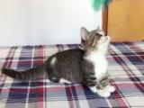 矮脚猫,英国短毛猫