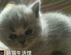 山西太原萌猫生活馆---高品质英短蓝猫!