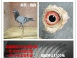 出售千公里赛鸽幼鸽 打比赛种鸽 回血鸽 赛鸽幼鸽