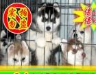 北京专业哈士奇犬狗场种公专业配种可送狗狗上门