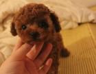 (300一个)转让自己养的一窝纯种漂亮小泰迪幼犬