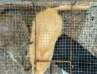 养殖场养殖刺猬海狐鼠大量出售