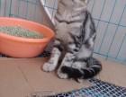 转让纯种美短幼母猫一只,求有心人!