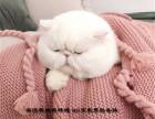 CFA家庭式貓舍繁育加菲貓寶寶-健康可愛黏人