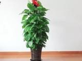 珠海租花 珠海花卉租摆 珠海绿植租赁 绿化养护
