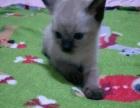 暹罗宝宝已满月求带走可看猫,