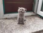 自家英短蓝猫宝宝出售急