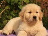 惠州狗场解散金毛犬等二十多种宠物狗 300元 起售