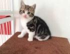 北京实体宠物店出售各种猫咪,自家繁育品质保证到店选购