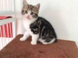 北京实体宠物店出售各种猫咪,自家繁育品质保证到店选购!