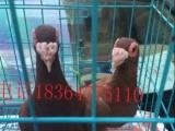 寿光哪里有卖大鼻子鸽的,大鼻子鸽一对多少钱,大鼻子鸽价格