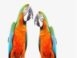 大足本地出售观赏鸟专业繁殖