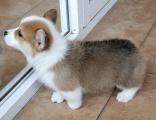北京出售柯基出售纯种柯基幼犬短腿柯基公母柯基活体宠物狗包健康