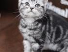 广州猫舍出售纯种暹罗猫猫