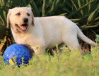 CKU认证犬舍 拉布拉多犬 保障健康 终生售后