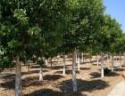 白城30公分皂角树价格优惠价是多少