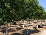 聊城50公分皂角树基地直销货源充足