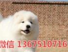 纯种微笑天使萨摩耶幼犬,雪白无水锈,骨骼粗毛